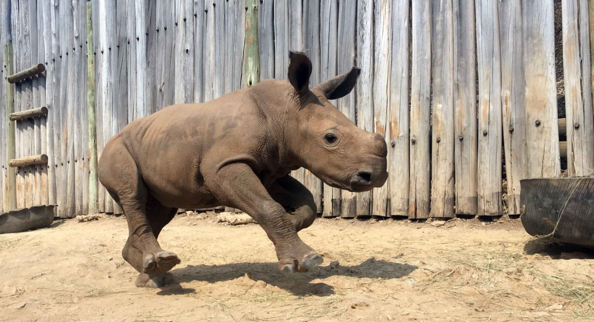 Rubybelle, ce rhinocéros sauvé des braconniers vit heureux désormais