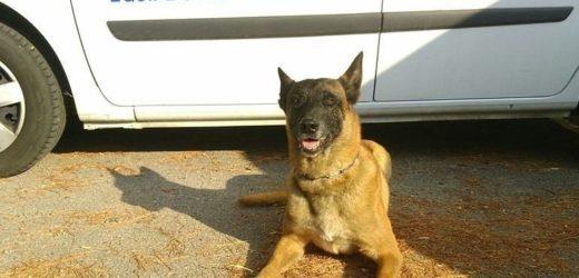Gibson, ce chien qui vient de sauver la vie d'une femme dans l'Hérault