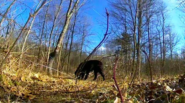 Bandit, ce labrador qui a vécu seul dans les bois pendant plus d'un an