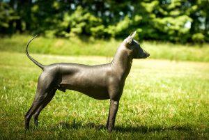 pelage insolite chiens nus du pérou