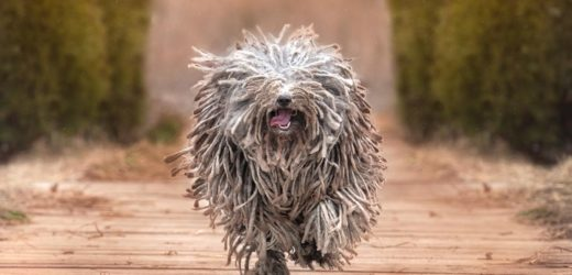 Pelage insolite – Ces races de chiens n'ont pas fini de vous surprendre
