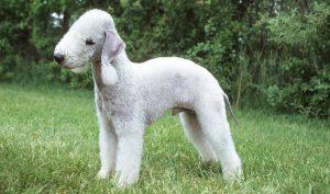 pelage insolite bedlington terrier